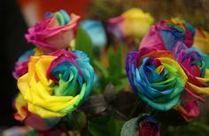 Rainbow roses <3