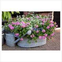 Pelargonium - Geranium, Lobelia and Helichrysum petiolare in galvanised container with watering can