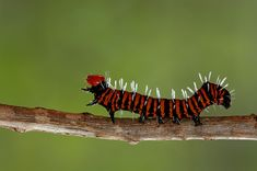 Image of the Dice moth caterpillar taken in Punda Maria Camp Macro Photography, Wildlife Photography, Worm Images, Bag Worms, Scorpion Image, Great Photos, Cool Pictures, Huntsman Spider, Rhino Beetle