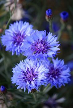 Cornflowers (fiordaliso o casse-lunettes) I also call them bachelor buttons