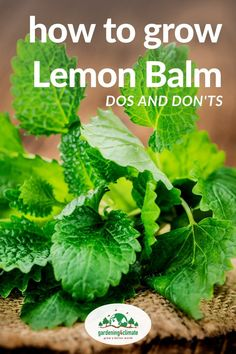 Lemon Balm is a delicious herb for teas, herbal tinctures and more. Learn here how to grow Lemon Balm in your herb garden and how to use this plant for your benefit. #gardening #gardeningtips #permaculture #homesteadgarden #organicgardening #homesteading #urbangardening #vegetablegardening #growingfood #gardening4climate #gardeningforclimate #herbs #herbgardening Organic Gardening, Gardening Tips, Sustainable Gardening, Vegetable Gardening, Growing Lemon Balm, Herb Garden Design, Garden Ideas, How To Grow Lemon, Spice Garden