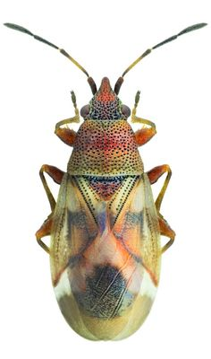 Oxycarenus modestus
