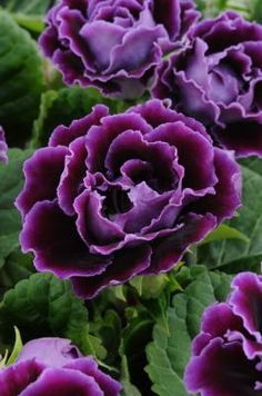 ✯ Double Gloxinia 'Suspense'