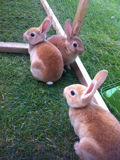 Baby standard rex rabbits for sale. Mum and dad are both rex rabbits Rex Rabbits For Sale, Mini Rex Rabbit, Baby Animals, Cute Animals, Beautiful Rabbit, Rabbit Pictures, Raising Rabbits, Cute Baby Bunnies, Cute Hamsters