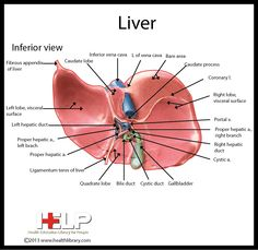Liver Diagram Human Body