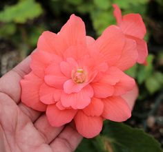 Begonia x tuberhybrida pendula 'Illumination Salmon Pink' - Buy Online at Annie's Annuals