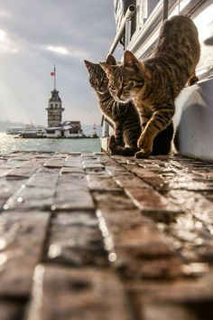 Madien Towers by Yaşar Koç on .The Cats of Istanbul Big Cats, I Love Cats, Cool Cats, Cats And Kittens, Beautiful Cats, Animals Beautiful, Cute Animals, Crazy Cat Lady, Crazy Cats