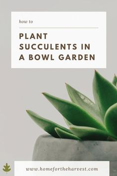 Grow Succulents in a Bowl: Using Glass, Pottery, or Hypertufa Containers - Home for the Harvest - How to Plant Succulents in a Bowl Garden #succulents #bowl #succulentbowl #houseplants #easygarden #bowlgarden