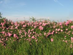 Image result for wild roses on fence