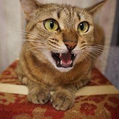 今日も仕事だったにゃ?! おそいにゃ!お腹すいたにゃー!  #猫好きな人と繋がりたい  #にゃんすたぐらむ  #愛猫  #猫 #ねこ #ネコ #キジトラ #α6000  #sony  #cat #hungry