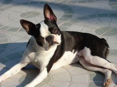 66af48631b3 Bostonský teriér Cutest Small Dog Breeds