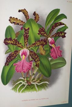 Offered by cheetahdmr@aol.com  asmatcollection on ebay and bonanza.com Orchid Flower Cattleya Laelia Family