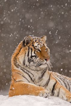 """beautiful-wildlife: """"KING OF THE SNOW by Steve Gettle Siberian Tiger """""""