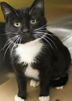 ADOPTED<Intake: 2/24  Available: Now  NAME: Kindra  ANIMAL ID: 25039018  BREED: DSH  SEX: Female  EST. AGE: 1 yr  Est Weight: 6.8 lbs  Health:  Temperament: Friendly  ADDITIONAL INFO:  RESCUE PULL FEE: $39