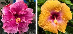 of the Month January- Hibiscus