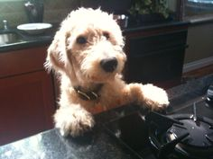 Cookin' with Harry Howard the Labradoodle