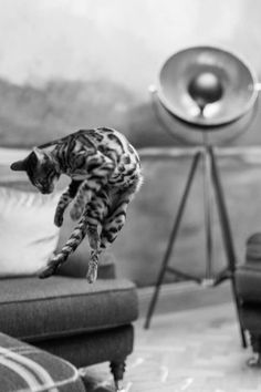 Tripod Lamp, Bengal, Club, Pets, Flare, Animals And Pets