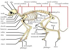 Labeled Cat Skeleton Diagram - Search For Wiring Diagrams •
