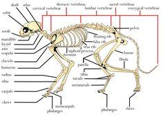 canine vertebral formula - Bing Images