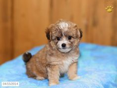 Choodle Puppy for Sale in Pennsylvania Poodle Mix Puppies, Puppies For Sale, Pennsylvania, Cuddling, Dogs, Animals, Physical Intimacy, Animales, Animaux