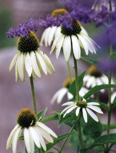 ECHINACEA - WHITE SWAN - Pinetree Garden Seeds - Flowers,Herbs