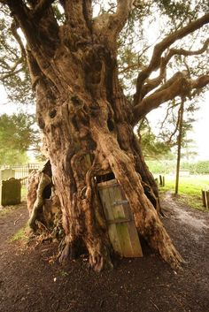 yew tree with door
