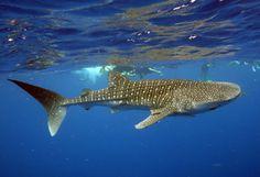 Requin-baleine en Australie