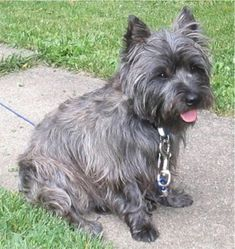 Cairn Terrier - A small, active terrier native to Scotland's Western Highlands, the Cairn was used in packs to control fur-bearing vermin. The little Cairn Terrier makes an excellent choice of family pet for any setting, provided it has a safely fenced outdoor play area.