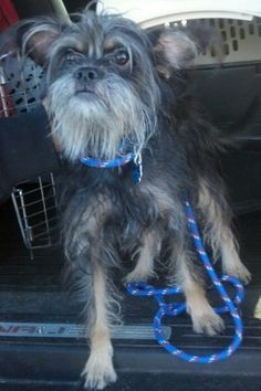 ADOPTED!! Tyson is a 2 year old neutered male Chinese Crested/Schnauzer mix who was rescued from a local high kill shelter.   This little guy LOVES to give hugs, he's great with other dogs, cats and people. He is a super happy boy who loves to give kisses too!