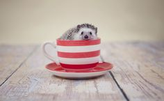 © Oscar & Rose Photography Hedgehog | stop the cuteness... (My pet Bramble)