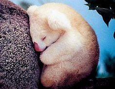 Koala albino