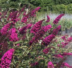 Buddleja 'Velvet Buzz' | Lambley Nursery Garden Border Plants, Garden Borders, Flower Farm, Flower Beds, Year Round Flowers, Japanese Beetles, Butterfly Bush, Evergreen, Shrubs