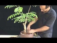 YouTube Pre Bonsai, Flamboyant, Indoor Gardening, Youtube, Plants, Vases, Gardens, Furniture, Planters