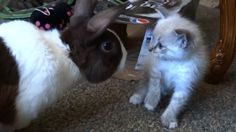 Video Kitten meets Rabbit