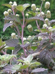 Aztécky cukor - Colada, Koreninová a liečivá záhrada Ale, Plants, Ale Beer, Flora, Plant, Ales, Planting, Beer