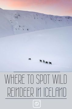 WHERE TO SPOT WILD REINDEER IN ICELAND
