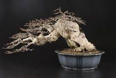 This is a list of common Bonsai tree species available on other listings: Hornbeam, Carpinus,Beech, Fagus, Elm, Ulmus, Oak, Quercus, Ive, Hedera, Maple, Acer, Spruce, Picea, Larch, Larix, Pine, Pinus, Horse Chestnut, Aesculus, Ash, Fraxinus, Willow, Salix, Birch, Betula, Silver fir, Abies, Rowan, Sorbus, Live Aquarium, Planted Aquarium, Silver Fir, Pre Bonsai, Bonsai Styles, Pond Plants, Chestnut Horse, Small Leaf, Casual