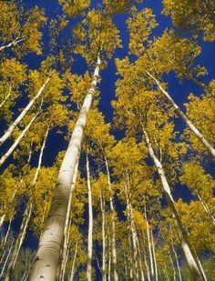 Image for Gold Aspen & Blue Sky