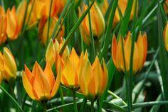 Tulipa Whittallii, Tulip Whittallii, Botanical Tulip, Tulip Species, Rock Garden…