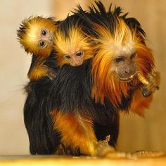 """Endangered golden-headed lion tamarin babies and their mother. Golden-Headed Lion Tamarin """"Severely endangered because of habitat loss and illegal capture. There are only about 200 golden-headed lion tamarins in the wild. Primates, Mammals, The Animals, Nature Animals, Funny Animals, Wild Animals, Strange Animals, Cute Baby Animals, Beautiful Creatures"""