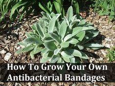 Grow Your Own Antibacterial Bandages - Pflanzideen Healing Herbs, Medicinal Plants, Natural Healing, Holistic Healing, Natural Home Remedies, Herbal Remedies, Health Remedies, Natural Medicine, Herbal Medicine