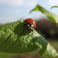 Ladybugs!  I plan to release some in my yard this year as I move towards organic gardening.