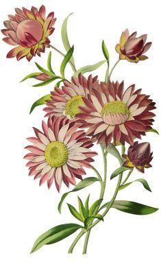 Flora Flowers, Botanical Flowers, Botanical Art, Feather Art, Illustrations, Flower Art, Digital Prints, Decoupage, Arts And Crafts