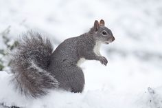 A Western Gray Squirrel in the snow from my photblind this morning. Mendocino County, California