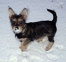 Chizer (Schnauchi) Chihuahua / Miniature Schnauzer Hybrid Dogs - Holly looks similar to this! Unique Dog Breeds, Rare Dog Breeds, Popular Dog Breeds, Pregnant Dog, Chihuahua Mix, Miniature Schnauzer, Weimaraner, All Dogs, Dog Life