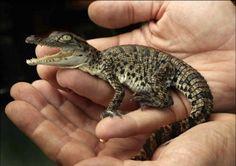 baby-crocodile