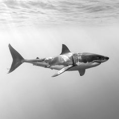 """3,954 Likes, 56 Comments - George T. Probst (@iphotographsharks) on Instagram: """"Micks, a male great white shark (Carcharodon carcharias), swims by just below the surface. Micks…"""""""