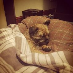 She's such a spoilt pup-know the feeling this could be my little Finn! Border Terrier Puppy, Terrier Dogs, Funny Dogs, Cute Dogs, Norfolk Terrier, Cute Borders, Dogs And Puppies, Doggies, Best Dog Breeds