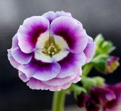 Primula auricula 'Ramona' 1 flower
