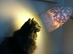 Just My Cat Sunbathing In A Lamp Is All